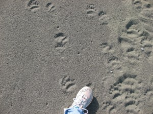 Victoria's foot to measure baby bear tracks